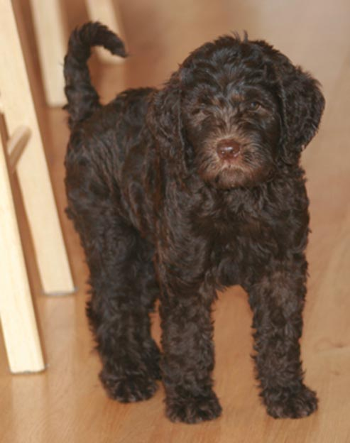 Australian Labradoodle Puppies for Sale - August 2019 - Prairie