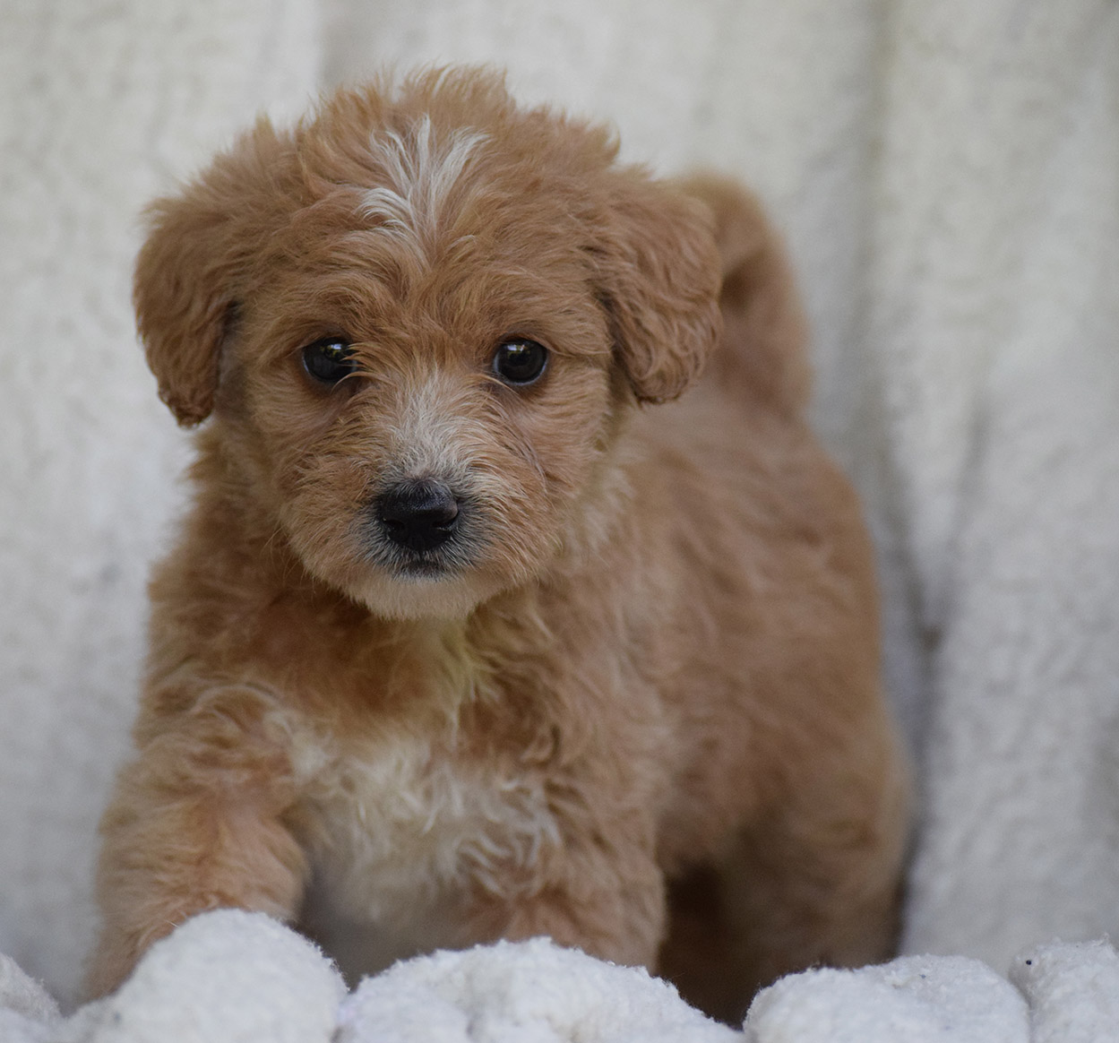 Australian Labradoodle Puppies for Sale - September 2019