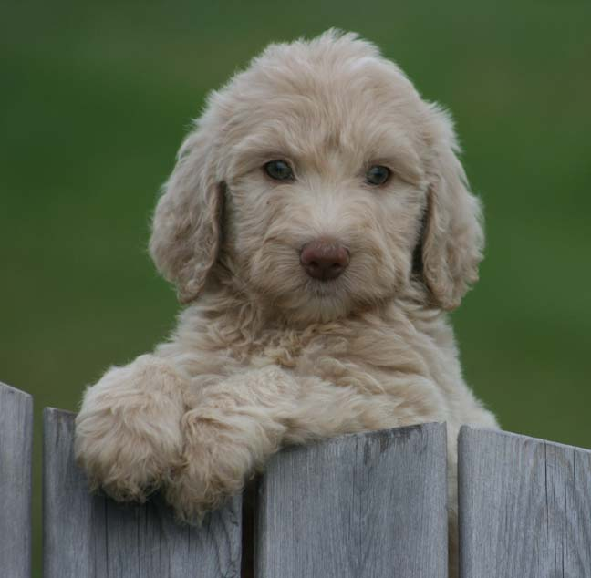 Labradoodle Puppies for Sale - February 2017 - Prairie ...