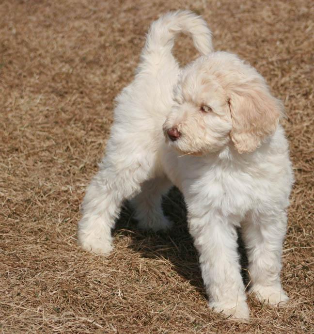 Australian Labradoodle Puppies For Sale September 2019 Prairie Ridge Farm Tennessee